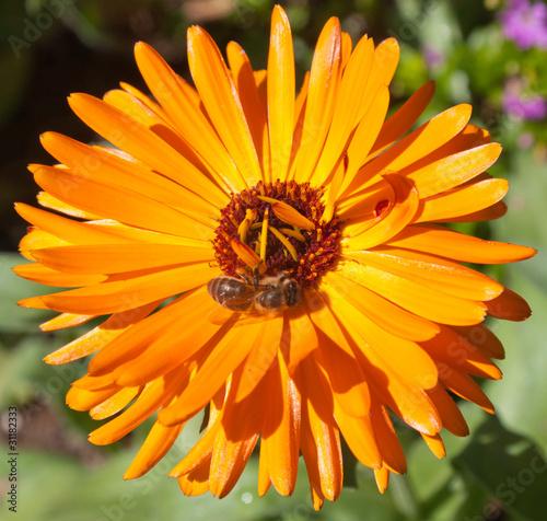 Fotografía  souci orange, Calendula officinalis