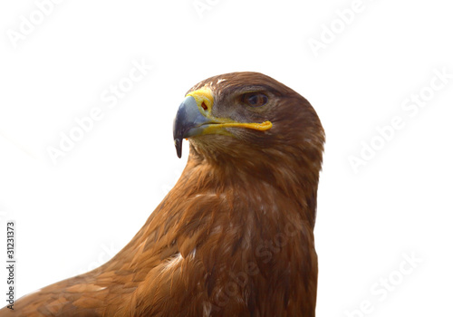Fotografie, Tablou  Steppe Eagle (Aquila nipalensis) portrait isolated on white