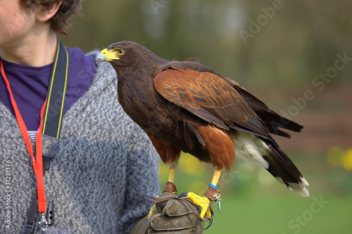 Fotografie, Tablou  Harris hawk resting on a falconer's arm