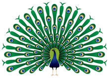Peacock Raise His Feathers In Vector