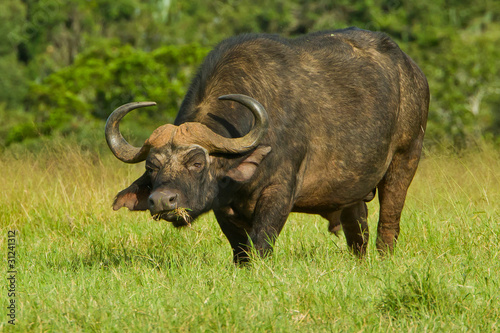Poster Buffalo Male buffalo grazing