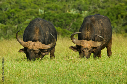 Photo Stands Buffalo Two large buffalo grazing