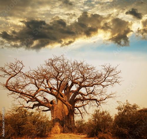 Papiers peints Baobab Baobab