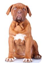 Seated Puppy Of Dogue De Borde...