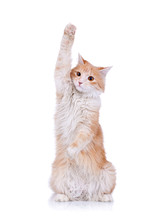Cute Red And White Cat Waving