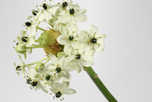 Milchstern - Ornithogalum Arabicum, Freigestellt