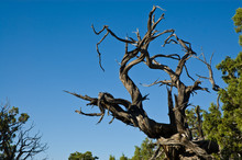 Dead Old Tree Reaching For The Blue Sky