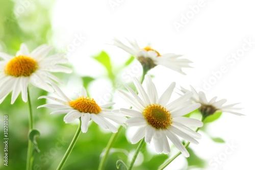 In de dag Bloemen Closeup of white daisy flowers
