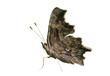 Butterfly (Polygonia C-album) 10