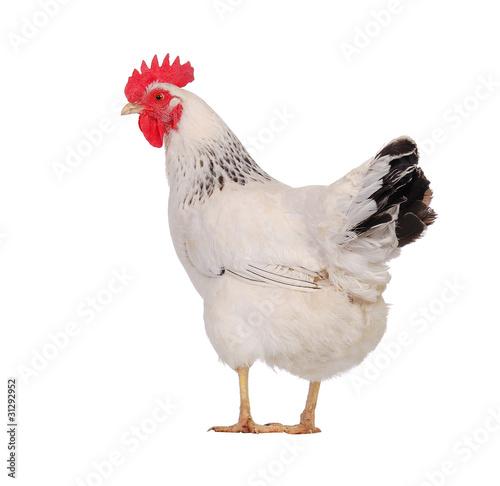 Foto op Canvas Kip white hen