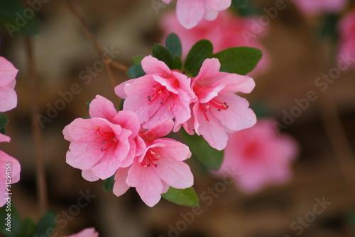 Papiers peints Azalea Pink Azaleas