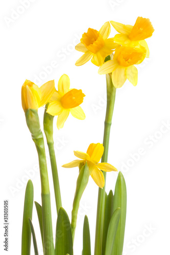 Narcissus narcissus isolated on a white background