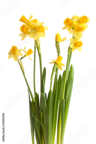 Recess Fitting Narcissus narcissus isolated on a white background