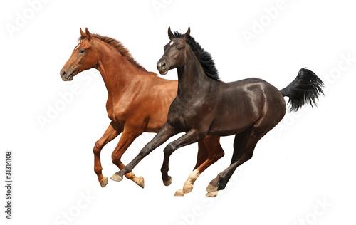 Obraz na plátně Gallop horses isolated