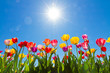 canvas print picture - Tulips in the sun
