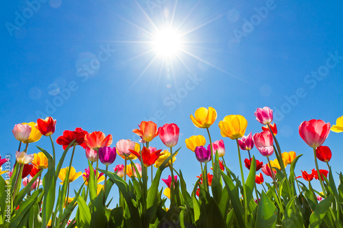 Foto op Plexiglas Tulp Tulips in the sun