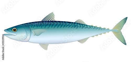 Obraz na plátně Atlantic Mackerel
