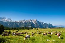 Cows On Pasture In Mountain Meadow. Montasio, Sella Nevea, Italy