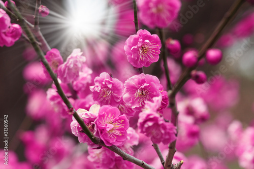 Aluminium Prints Pink blossoming cherry blossom with sunrays