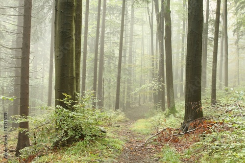 Papiers peints Foret brouillard Path leading through a misty beech forest in a nature reserve
