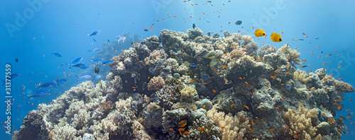 Coral scene - panorama #31377559