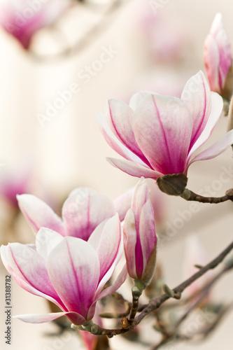 Deurstickers Magnolia Magnolie, Magnolia
