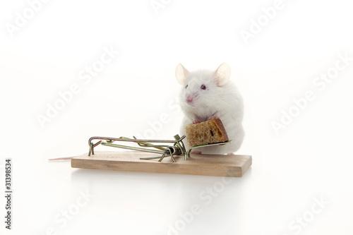 White mouse risking life. Poster