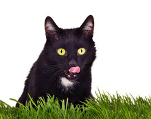 Black Cat Licks It's Lips Sitting Behing Green Grass