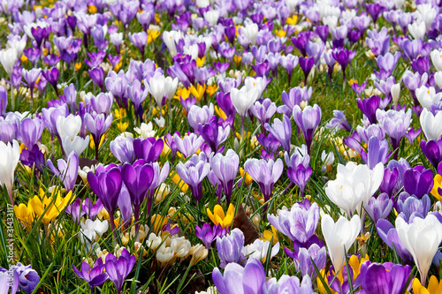 A lot of Dutch spring crocus flowers