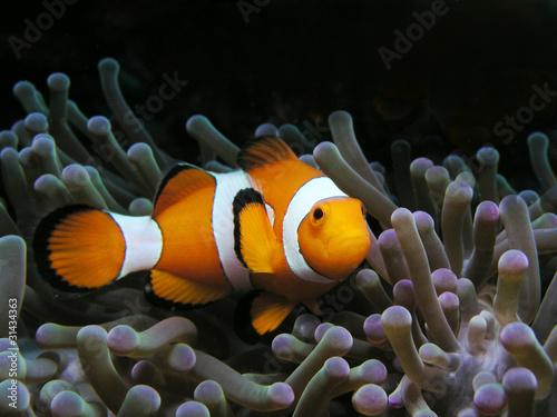 Fotografie, Tablou  Anemonenfisch Clownfish Nemo