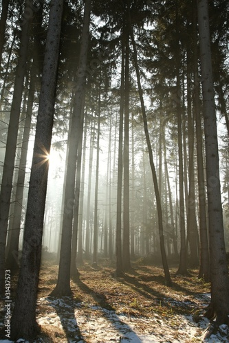 Papiers peints Foret brouillard Coniferous forest lit by the morning sun on early spring day