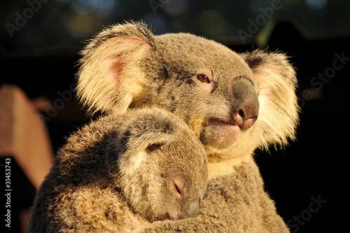 Garden Poster Koala Koala is holding her sleeping joey