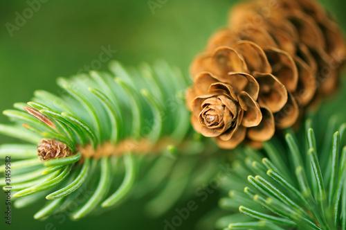 Fototapeta Pine Cone And Branches obraz