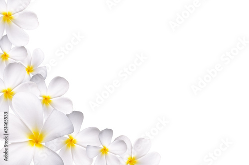 Photo Stands Plumeria White plumeria
