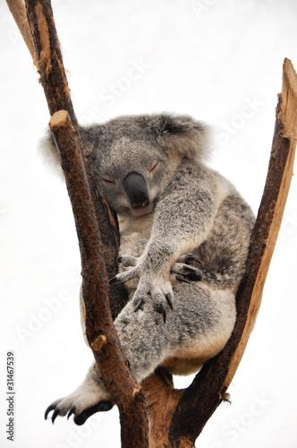 Foto op Canvas Koala Koala