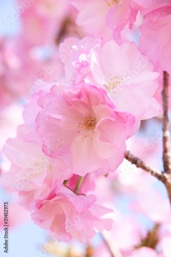 Naklejki kwiaty kwiaty-wisni