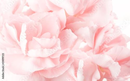 Fototapeta abstract pink carnations background obraz na płótnie