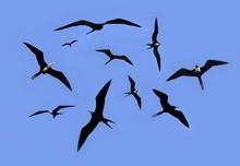 Frigate Bird Silhouette Backli...