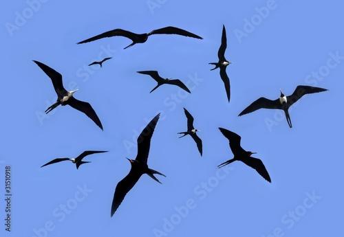 Fotomural frigate bird silhouette backlight breeding season