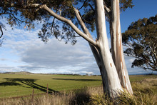 Eucalyptus Tree And Pasture In Beautiful Afternoon Light.