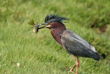 Green Heron That Just Caught A...