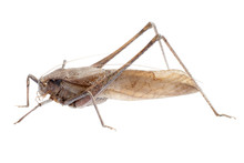 Insect Brown Katydid