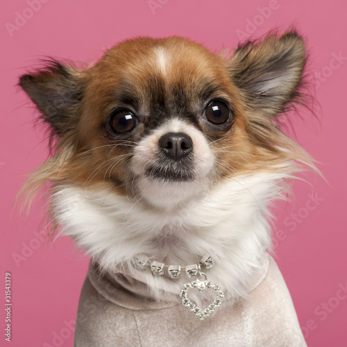 Close-up of Chihuahua, 2 years old, with diamond collar Poster