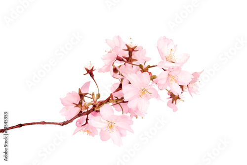 Spring blossoms isolated on white background Wallpaper Mural
