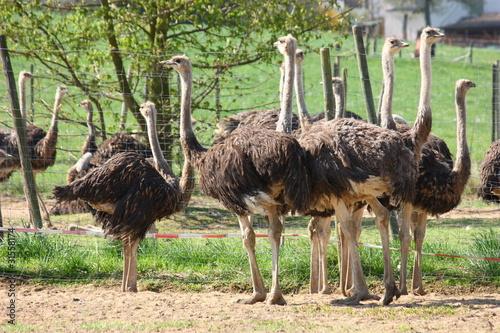 Staande foto Struisvogel Straußenfarm