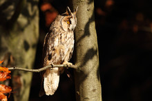 Long Eared Owl In The Dark For...