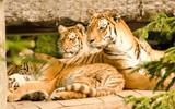 Fototapeta Animals - les tigres