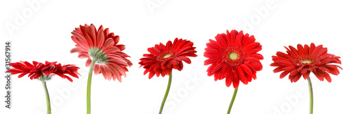 Poster Gerbera Set of five gerbers