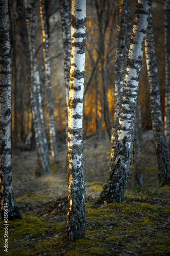 Deurstickers Berkbosje Birch trees at sunset