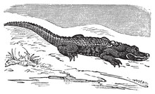 American Alligator Engraving, ...